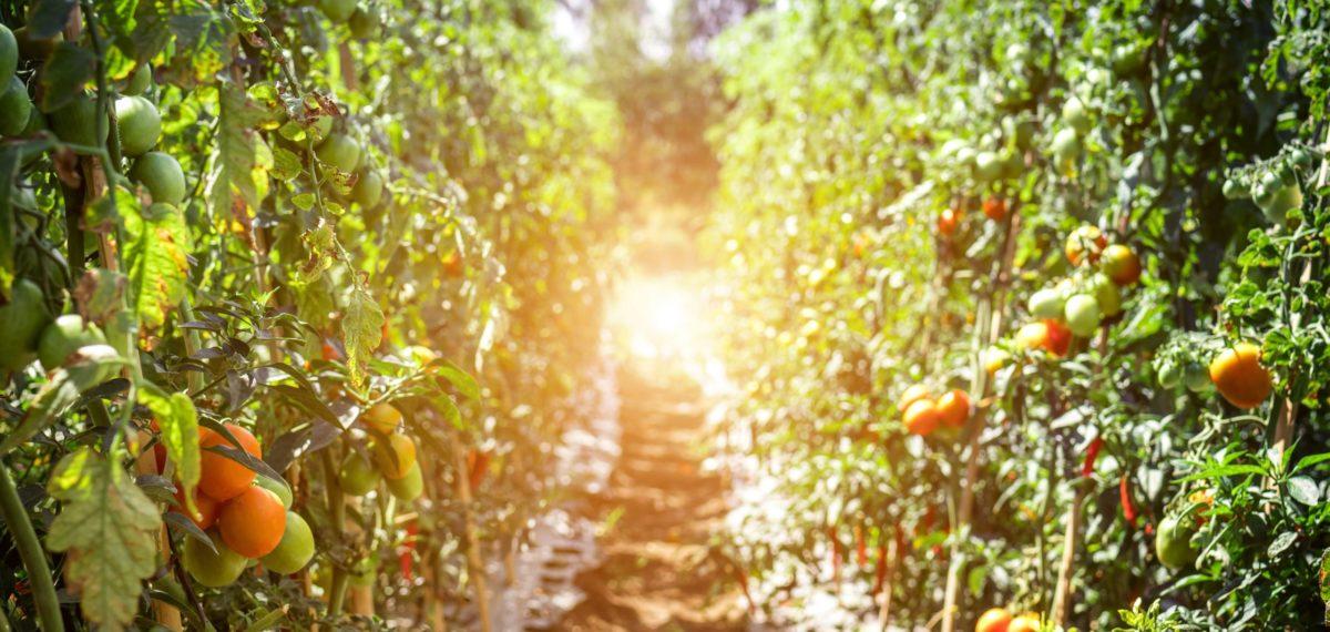 Pfad zwischen Tomatenpflanzen